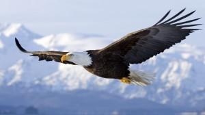 eagle soaring 900 1600